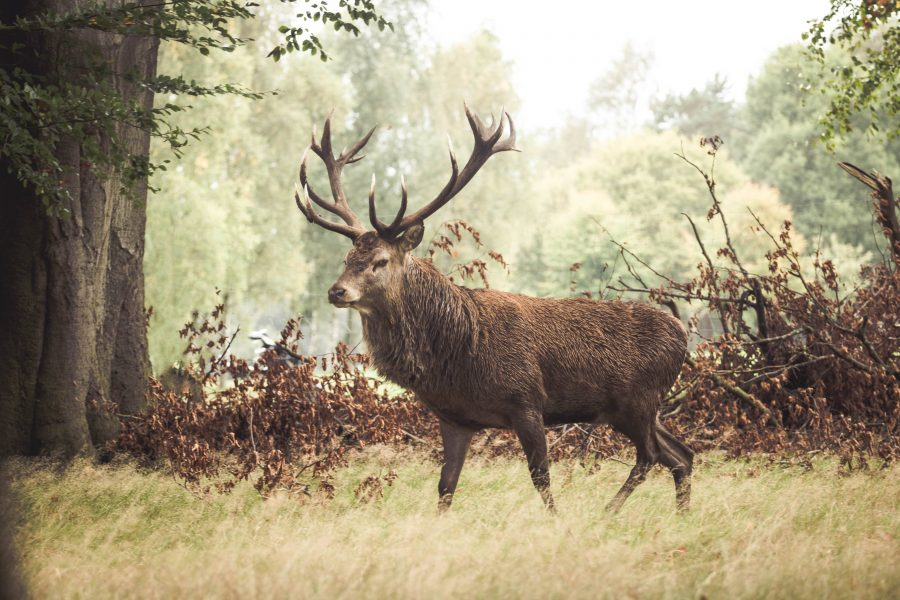 tatton park deer by christian dobbie cheshire photographer