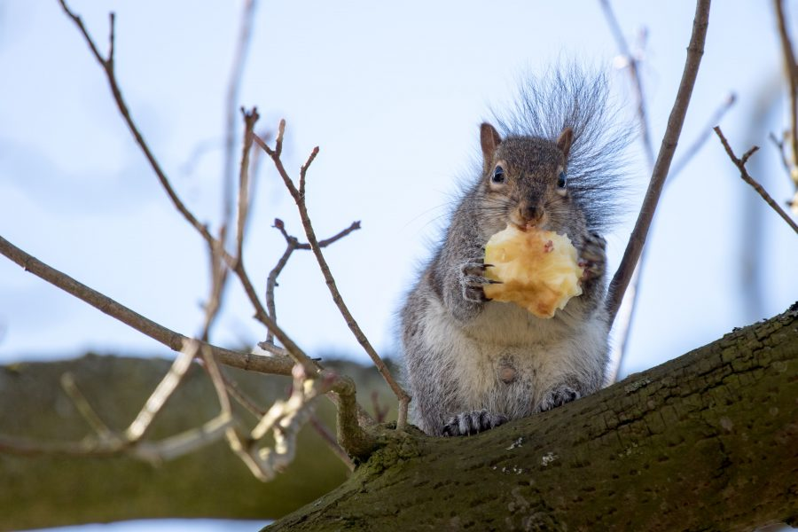 northwich squirrel on christian Dobbie photography
